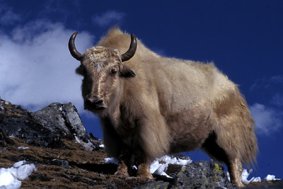 Yak on route to Mt. Everest