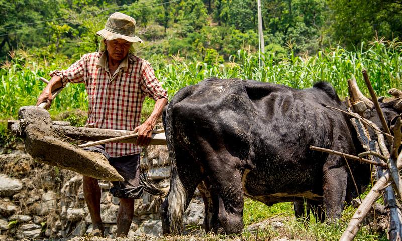 Traditional planting Nepal