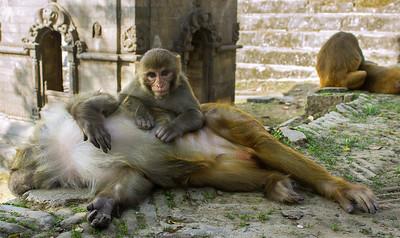 Monkeys, Pashupatinath Temple