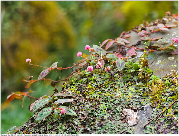 Pink knotweed on green rock