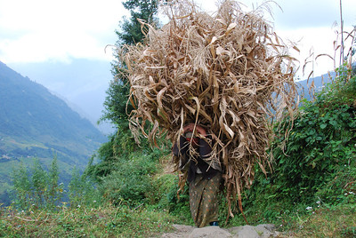 166 - Nepali woman carries corn leaves