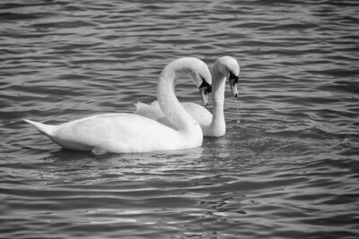 Spring Swans #2, Courtship