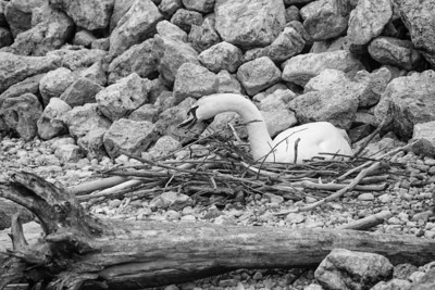 Spring Swans #11, Building the Nest