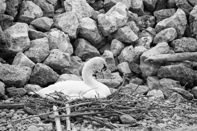 Spring Swans #17, Feathering the Nest