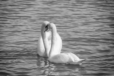 Spring Swans #4, Courtship