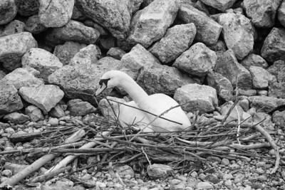 Spring Swans #13, Building the Nest