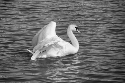 Spring Swans #1, Courtship