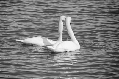 Spring Swans #3, Courtship