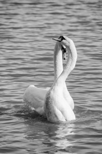 Spring Swans #5, Courtship