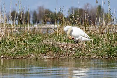 Nesting Swans #29