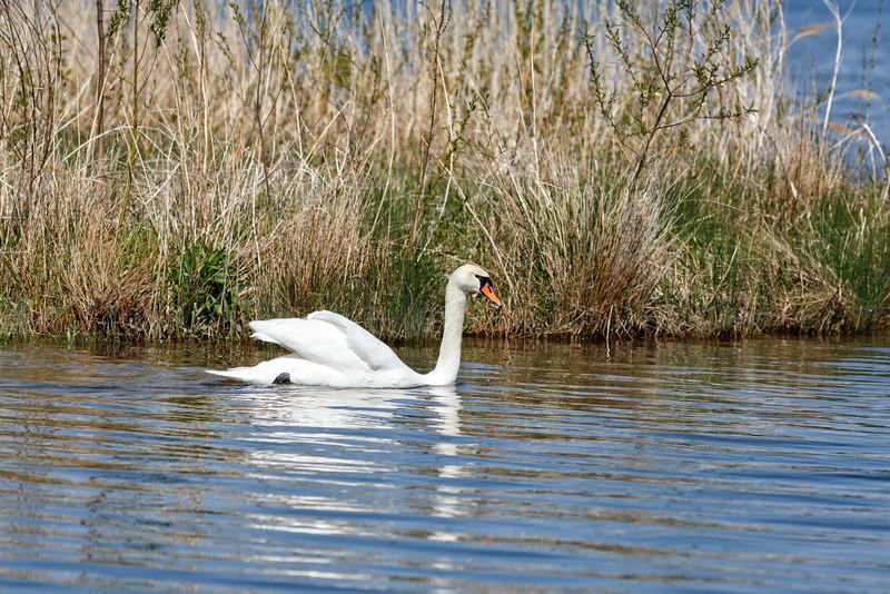 Nesting Swans #23