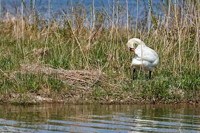 Nesting Swans #19