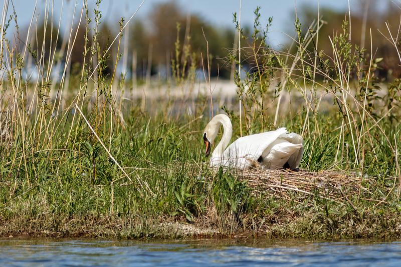 Nesting Swans #34