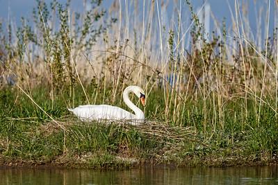 Nesting Swans #33
