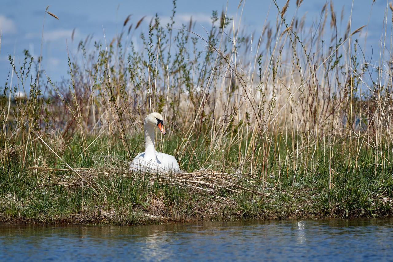 Nesting Swans #17