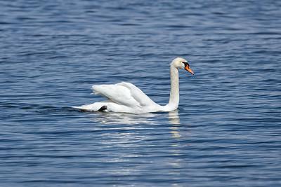 Nesting Swans #24