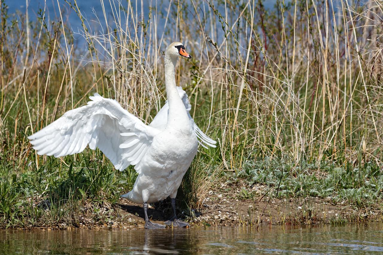 Nesting Swans #21