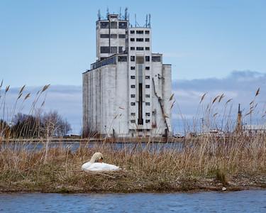 Nesting Swans #13