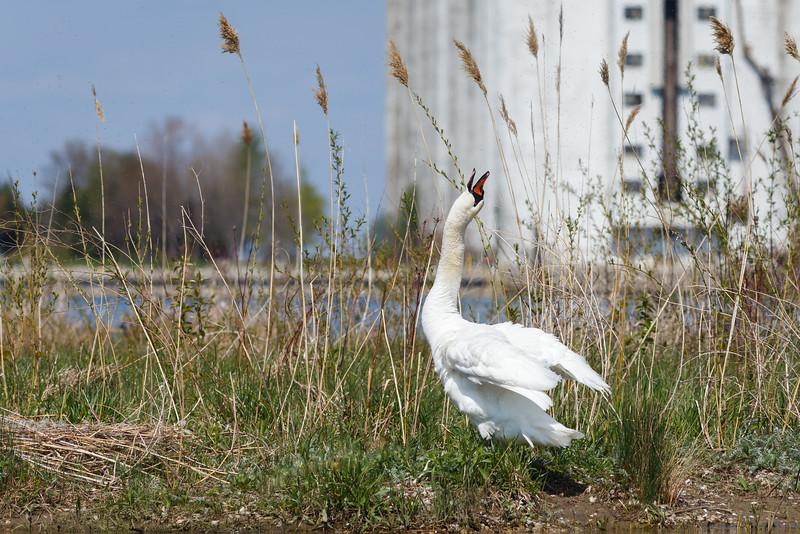 Nesting Swans #27