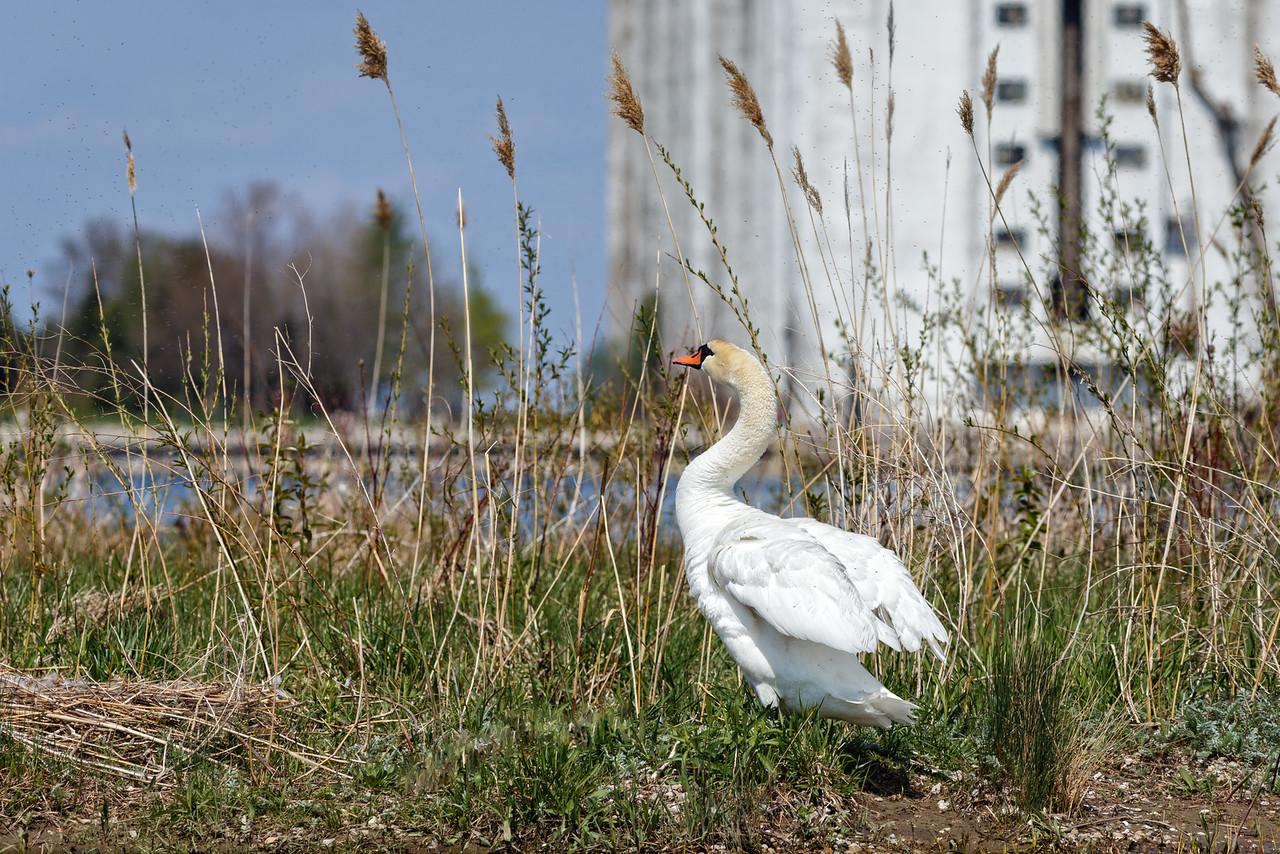 Nesting Swans #28