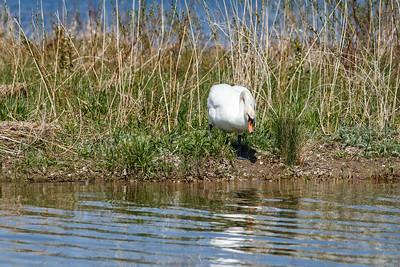 Nesting Swans #20