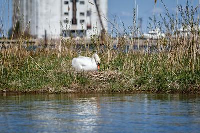 Nesting Swans #18