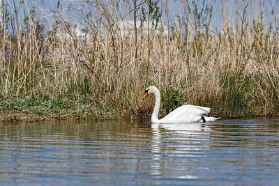Nesting Swans #26
