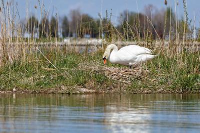Nesting Swans #30