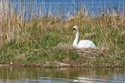 Nesting Swans #31