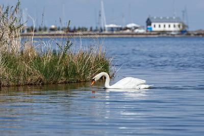 Nesting Swans #25