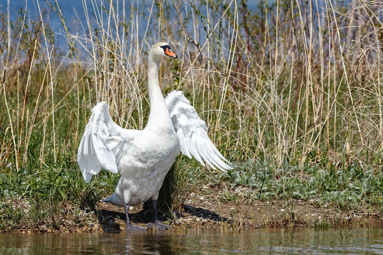 Nesting Swans #22