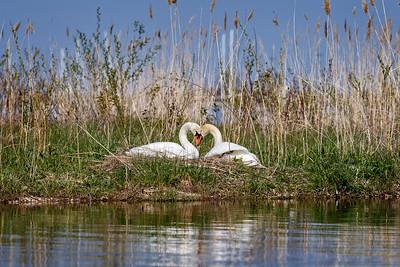 Nesting Swans #32