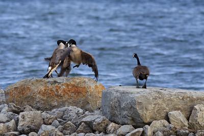 Territorial Geese #3