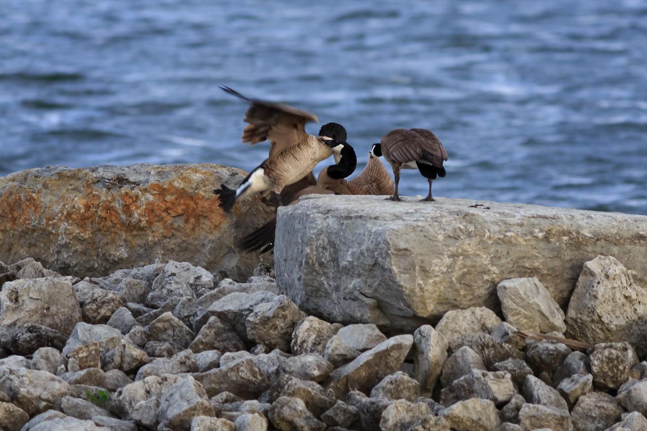 Territorial Geese #5