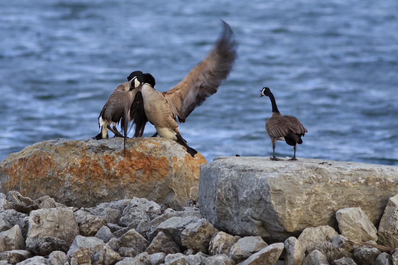 Territorial Geese #2