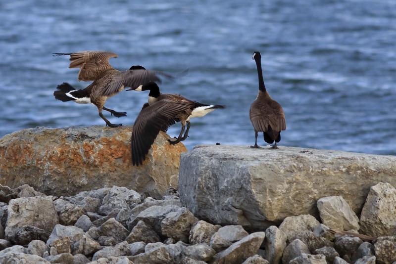 Territorial Geese #1