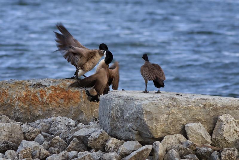 Territorial Geese #4