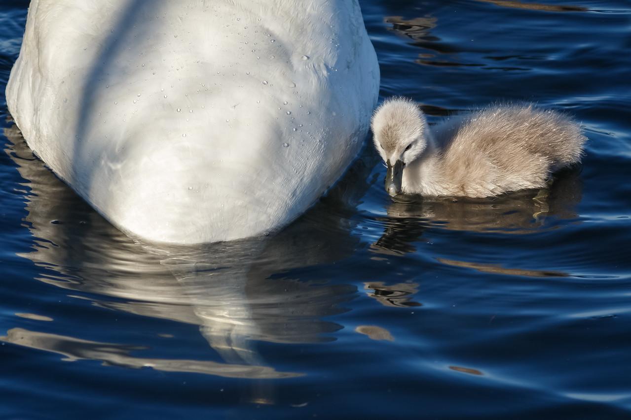 Shipyard Swans
