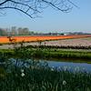 Tulip fields adjacent to Keukenhof Gardens, Amsterdam