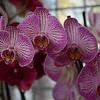 Orchids at Keukenhof Gardens, Amsterdam