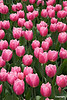 Tulip06_0024