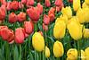 Tulip06_0015