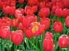 tulipsredandy_38