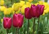 Tulip05_0704