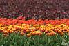 Tulip06_0096