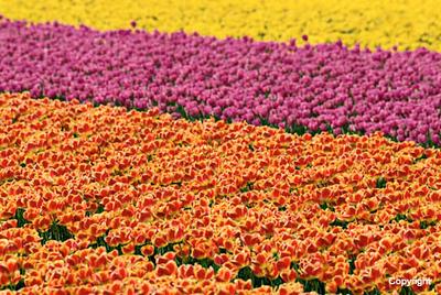 Tulip06_0124