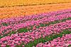 Tulip06_0119