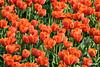 Tulip06_0163