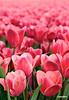 Tulip06_0151