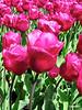 tulipspurp_52
